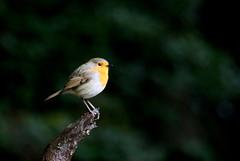 rougegorge familier ( Erithacus rubecula ) Brech 180903d2 (papé alain) Tags: oiseaux passereaux muscicapidés rougegorgefamilier erithacusrubecula europeanrobin brech bretagne france