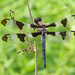 Twelve-spotted skimmer - they're back!