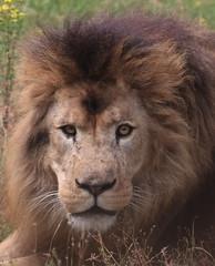 Portrait (Carahiah) Tags: thoiry safari fauve animal animaux sauvages sauvage zoosafaridethoiry zoosafari nature wild paris naturel natural lion lionne lions