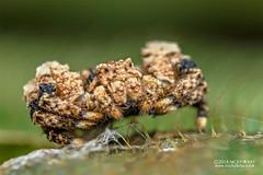 Bird dung crab spider (Phrynarachne rugosa) - DSC_2550 (nickybay) Tags: africa madagascar macro andasibe mitsinjo thomisidae phrynarachne bird dung crab spider rugosa