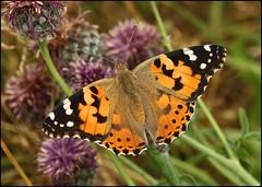 Painted Lady on knapweed (glostopcat) Tags: paintedladybutterfly butterfly vanessid insect invertebrate summer july macro glos knapweed wildflowers butterflyconservation prestburyhillnaturereserve