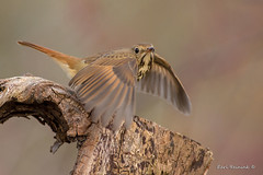 Yeah, migration is here and I'm tired of flying (Earl Reinink) Tags: bird sautumn fall nature wildlife photography thrush hermit hermitthrush eyes earl reinink earlreinink hoaduudaoa