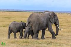 20180805IMG_7400.jpg (jmcenern) Tags: africa elephant amboselinationalpark kenya