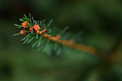 Branch (jna.rose) Tags: branch tree closeup macro pine nikon photography needles nature outdoor naturallight focus shallow dof depthoffield