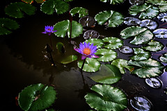 Lotus Flowers At A Buddhist Temple Outside Kandy (El-Branden Brazil) Tags: srilanka buddhism buddha lotus lotusflowers flowers pond sacred kandy asia asian holy religion