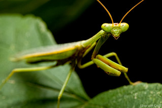 Male mantis