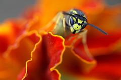 Saksanampiainen - Vespula germanica - German wasp (Henri Koskinen) Tags: yellowjacket wasp helsinki viikki 15082018 samettikukka saksanampiainen vespula germanica german tappajaampiainen