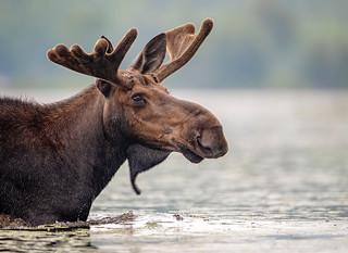 Moose Head...