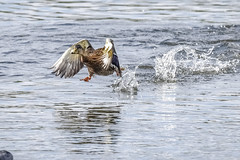 We got a runner (Paul Wrights Reserved) Tags: duck ducks duckinflight run running runner water action actionphotography splash splashing splashes wing wings