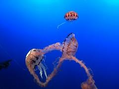 IMG_1244 (paschulea) Tags: monterey aquarium