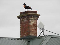 Australian Shelduck at Kolora (Kerry Vickers) Tags: birds ducks southwestvictoria
