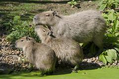 Capybara / Capibara / Hydrochoerus hydrochaeris (Greeney5) Tags: capibara hydrochoerushydrochaeris hydrochoerus waterzwijn knaagdier caviidae rodentia mammalia zoogdier gaiazoo mammal capybara rodent