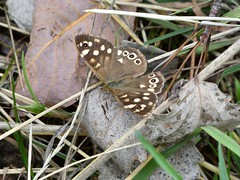 Speckled wood butterfly (Deanne Wildsmith) Tags: butterfly speckledwood insect bartonmarina staffordshire