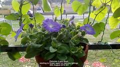 Petunias (Light Blue) starting to flower again on balcony railings 20th August 2018 001 (D@viD_2.011) Tags: petunias light blue balcony railings starting flower again 20th august 2018