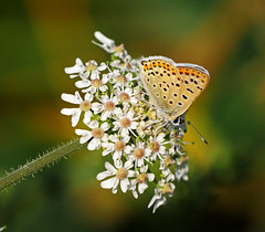 P1680187-Brauner Feuerfalter (Lycaena tityrus) (Bine&Minka2007) Tags: braunerfeuerfalter schmetterlinge blüten butterfly insekten insects makro macro schön beautiful beauty