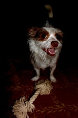 Can I interest you in a game of tug of war? (david11eiu) Tags: bobo animal happy pets pet dogs smile rope toy pull tugofwar war tug game games playful play dog