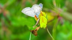 Beauty - 5790 (ΨᗩSᗰIᘉᗴ HᗴᘉS +37 000 000 thx) Tags: nature beauty macro butterfly hensyasmine namur belgium europa aaa namuroise look photo friends be wow yasminehens interest intersting eu fr greatphotographers lanamuroise tellmeastory flickering