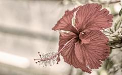 Modus Operandi (Vanessa wuz Here) Tags: 7dwf 90mm macro macroflowers flora flowers hibiscus universityofalbertabotanicalgarden devoniangarden devon alberta copyrightvanessabartosek macrofriday espiral