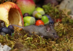 wild garden mouse inside a apple (4) (Simon Dell Photography) Tags: wild garden house mouse nature animal cute funny fun moss covered log pile acorns nuts berries berrys fuit apple high detail rodent wildlife eye ears door home sheffield ul old english country s12 simon dell photography