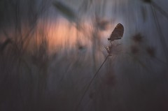 Crepuscule (donlope1) Tags: cro nature light papillon butterfly sunset sun bokeh proxy silhouette wildlife wild