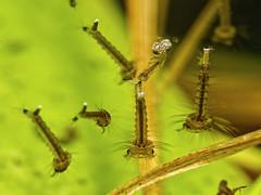 mosquito_larvae_1200586 (jswildlife) Tags: jswildlife invertebrates insects larvae macro olympusmacrolens60mmf28 lumixgx8 mosquitolarvae raynox250 diptera macrodreams