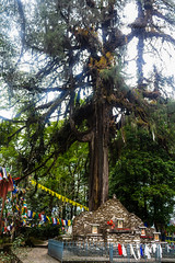 Coronation Throne (abhishek.verma55) Tags: coronationthrone coronation throne yuksom nature trees ©abhishekverma canon550d tree sikkim westsikkim worship old stone india oldtree pine incredibleindia photography flickr prayer prayerflags pray prayers colourful colour colorful colors travel travelphotography buddhism buddha branches holy sacred shrine history historical flags branch rock places culture beautiful exploreindia greens green greenery outdoor outdoors pinetree norbugang ngc