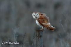 g_Z2I7193-2 (markandruth.photos) Tags: barn owl barnowl canon wildlife nature canonuk