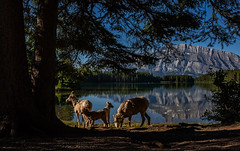 Bighorn sheep lakeside (Robert R Grove 2) Tags: landscape nature banff lakeside reflection canada robertrgrove sheep bighorn four lambs mothers shade