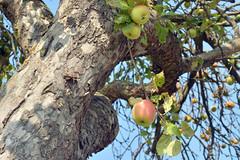 Apfel (German Circle) Tags: apfelambaum appleonthetree apfel äpfel obst lebensmittel pflanzen plant plants apple apples food foodstuff fruit fruits