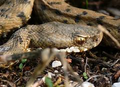 p1170853 (claudiopoli) Tags: animali animalia chordata reptilia squamata viperidae vipera aspis viperacomune autouploadfilenamep1170853jpg