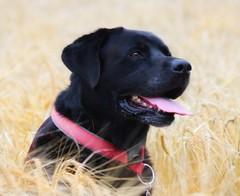 Ben (julz.adams) Tags: animal aberdeen photo photography pet happy ben labrador love dogs dog