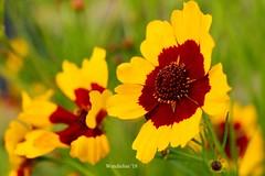 (WendieLarson) Tags: wickedhair wendielou wendielarson sunflower yellow flower fleurs flowers fiori d7000 california color bloom nikon nature macro landscape landscapes green garden petals 40mm aperature