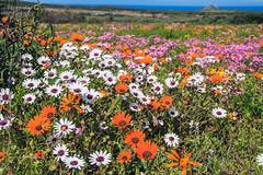 Posberg 2018 (John Cosnett) Tags: flowers wild outdoor spring colors nature southafrica westcoast africa wildflowers coastal