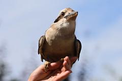 Laughing Kookaburra (Bri_J) Tags: tropicalbutterflyhouse northanston southyorkshire uk butterflyhouse yorkshire nikon d7200 sigma150600mm kookaburra bird dacelonovaeguineae