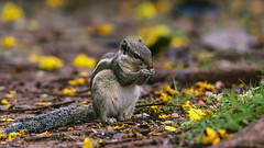 Nuts about nuts (KevinBJensen) Tags: squirrel rodent furry animal garden mumbai india