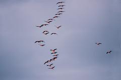 Kraniche (waltsphoto) Tags: kraniche sonnenuntergang natur naturgucker himmel wolkenlandschaft zugvögel