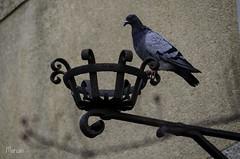 Paloma doméstica (MarianDiazRAM) Tags: 2018 aves catalunya nikond5100 palomasdomésticas urbanbird vacaciones verano