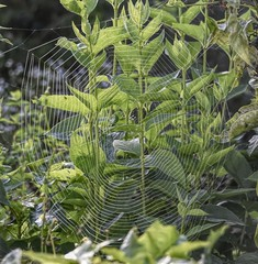 Photo#255-Around & Around (ITS APPLE HARVEST FESTIVAL!) Tags: 365the2018edition stripes web spider bush green leaves inthebackyard 3652018 day255365 12sep18