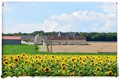 Great agricultural domain (Babethaude) Tags: touraine indreetloire agriculture landscape nature sunflower domain