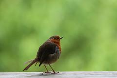 Robin (jpotto) Tags: uk lancashire leightonmoss bird robin rspb