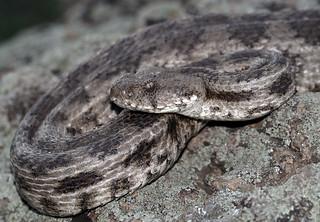 Levant Blunt-nosed Viper (Macrovipera lebetina obtusa)