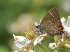 White-Letter Hairstreak (Satyrium w-album) (KHR Images) Tags: whiteletterhairstreak satyriumwalbum insect butterfly bedfordpurlieus wood woodland cambridgeshire macro nikon d500 wildlife nature kevinrobson khrimages