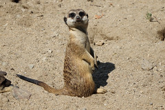 Oradea zoo: Meerkat/Suricate. (Daniel ENGELVIN (Thanks 500k)) Tags: goldwildlife