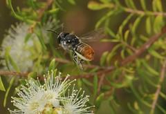 A new bee for our garden (Jenny Thynne) Tags: bee australiannativebee hymenoptera nature pollinator insect megachilerhodomegachiledeanii megachilidae chalicodomahackeriaspismicrerythura