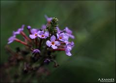 Garden Flowers... (angelakanner) Tags: canon70d lensbaby sol45 closeup flower garden longisland