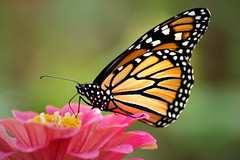 Monarch 3-0 F LR 9-12-18 J073 (sunspotimages) Tags: animal animals insect insects nature wildlife butterfly monarchbutterfly butterflies monarchbutterflies