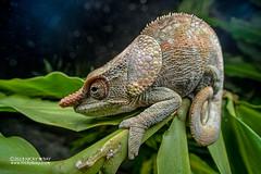 Short-horned chameleon (Calumma brevicorne) - DSC_3055 (nickybay) Tags: africa madagascar macro andasibe calumma brevicorne chameleon chamaeleonidae shorthorned laowa 15mm