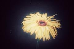 queen of the night (***étoile filante***) Tags: pentax flower blume macro light licht hell bright dunkel dark poetic emotions emotional nature natur night nacht love liebe