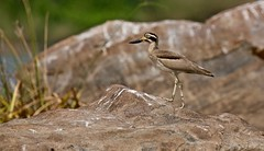 Thick Knee The Camouflage expert (aka Stone Curlew) (Suri JV (on and off)) Tags: canon5dmkiii canon100400lisii ranganithittu