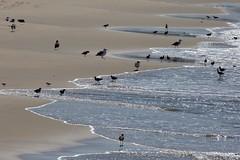 Foraging at the beach, Playa del Rey, CA CQ4A5353 (Hart Walter) Tags: ballonajetty playadelrey blackoystercatcher willet sanderling westerngull allenshummingbird blackturnstone surfbird